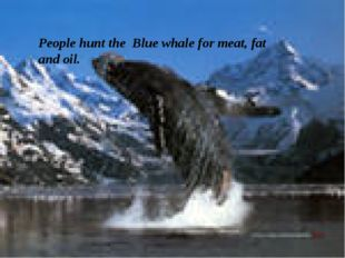 People hunt the Blue whale for meat, fat and oil.