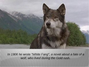 """In 1906 he wrote """"White Fang"""", a novel about a fate of a wolf, who lived duri"""