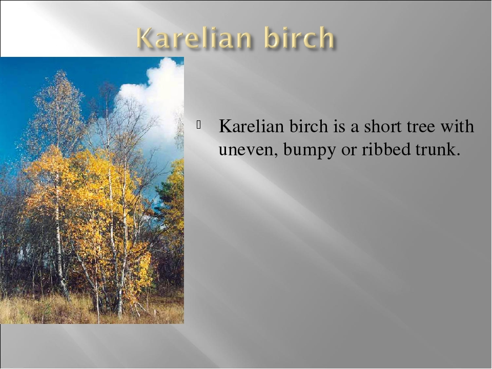 Karelian birch is a short tree with uneven, bumpy or ribbed trunk.