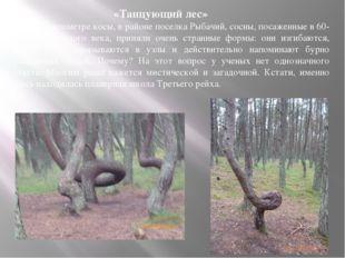«Танцующий лес» На 37-м километре косы, в районе поселка Рыбачий, сосны, пос