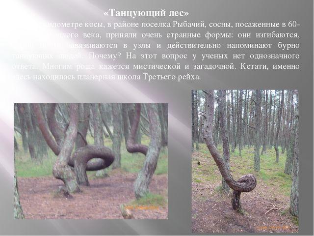 «Танцующий лес» На 37-м километре косы, в районе поселка Рыбачий, сосны, пос...