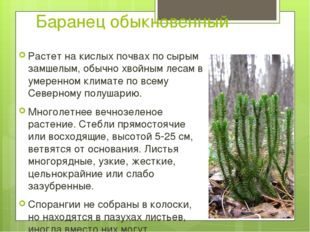 Баранец обыкновенный Растет на кислых почвах по сырым замшелым, обычно хвойны