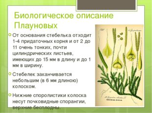 Биологическое описание Плауновых От основания стебелька отходит 1-4 придаточн