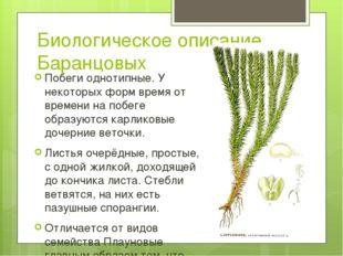 Биологическое описание Баранцовых Побеги однотипные. У некоторых форм время о