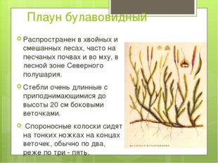 Плаун булавовидный Распространен в хвойных и смешанных лесах, часто на песчан