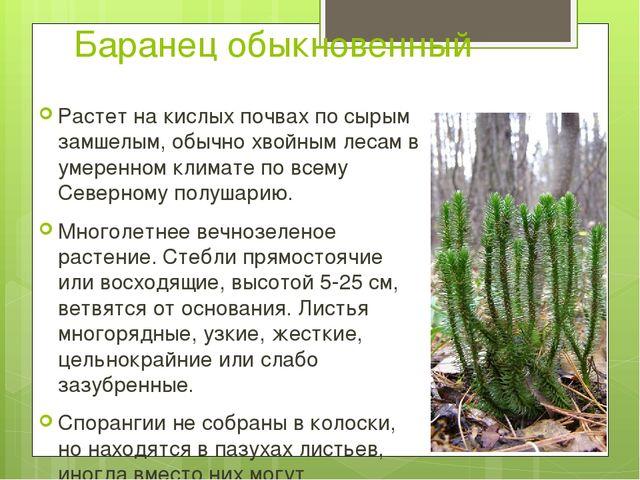 Баранец обыкновенный Растет на кислых почвах по сырым замшелым, обычно хвойны...