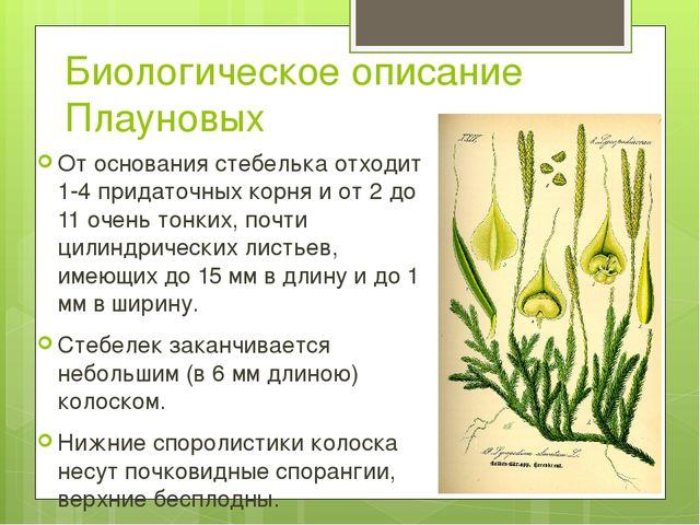 Биологическое описание Плауновых От основания стебелька отходит 1-4 придаточн...