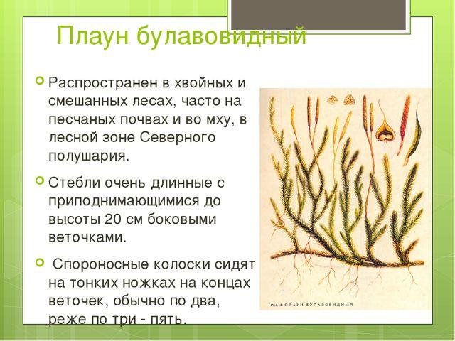 Плаун булавовидный Распространен в хвойных и смешанных лесах, часто на песчан...