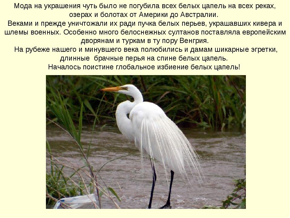Мода на украшения чуть было не погубила всех белых цапель на всех реках, озе...
