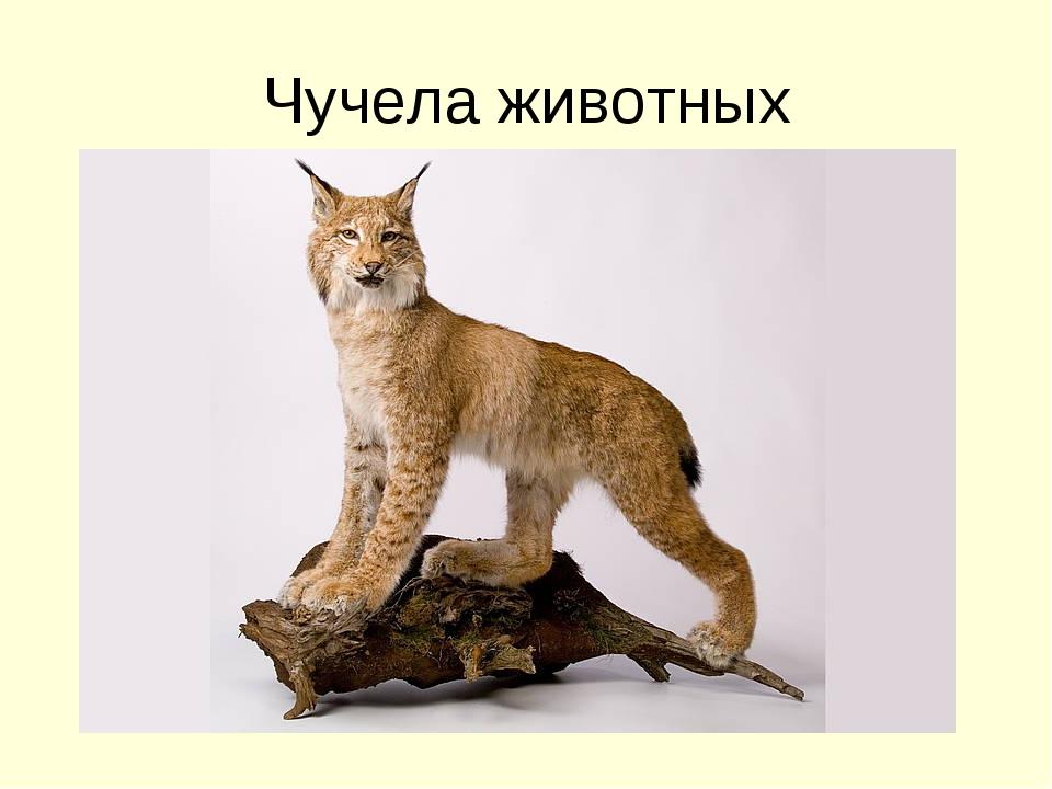 Чучела животных
