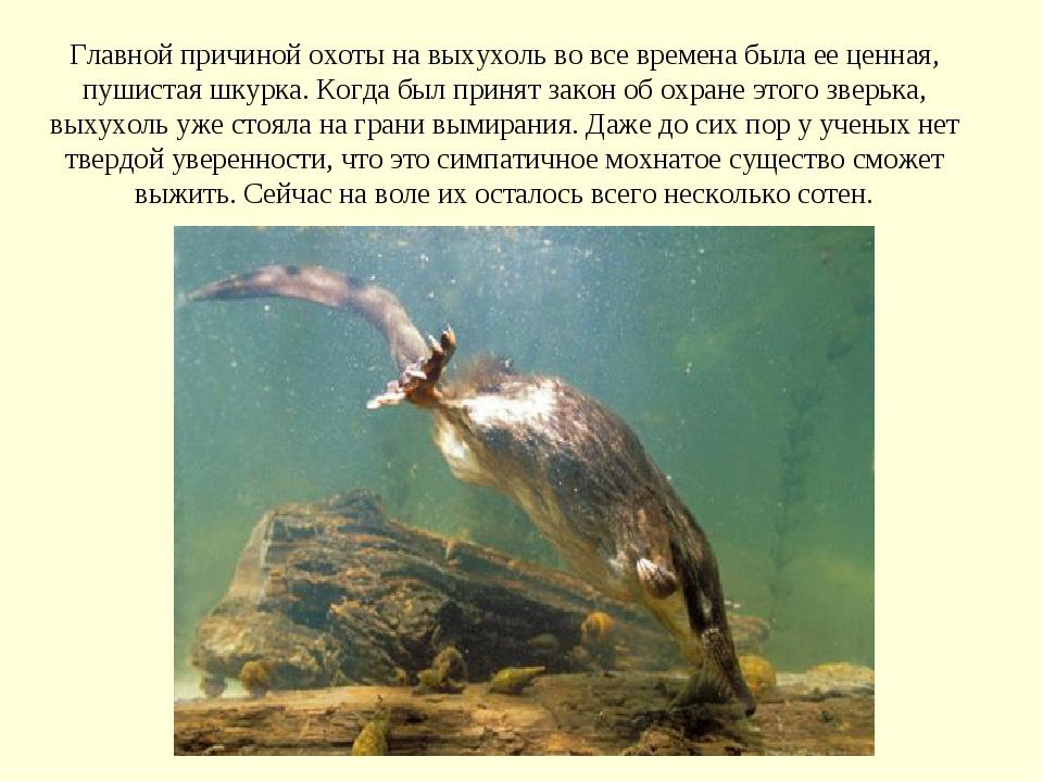 Главной причиной охоты на выхухоль во все времена была ее ценная, пушистая ш...