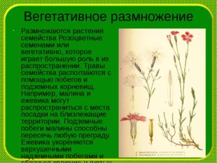 Вегетативное размножение Размножаются растения семейства Розоцветные семенами