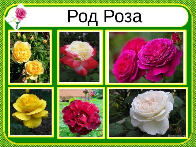 Род Роза