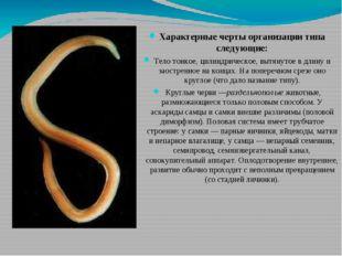 Характерные черты организации типа следующие: Тело тонкое, цилиндрическое, в