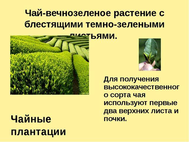 Чай-вечнозеленое растение с блестящими темно-зелеными листьями.
