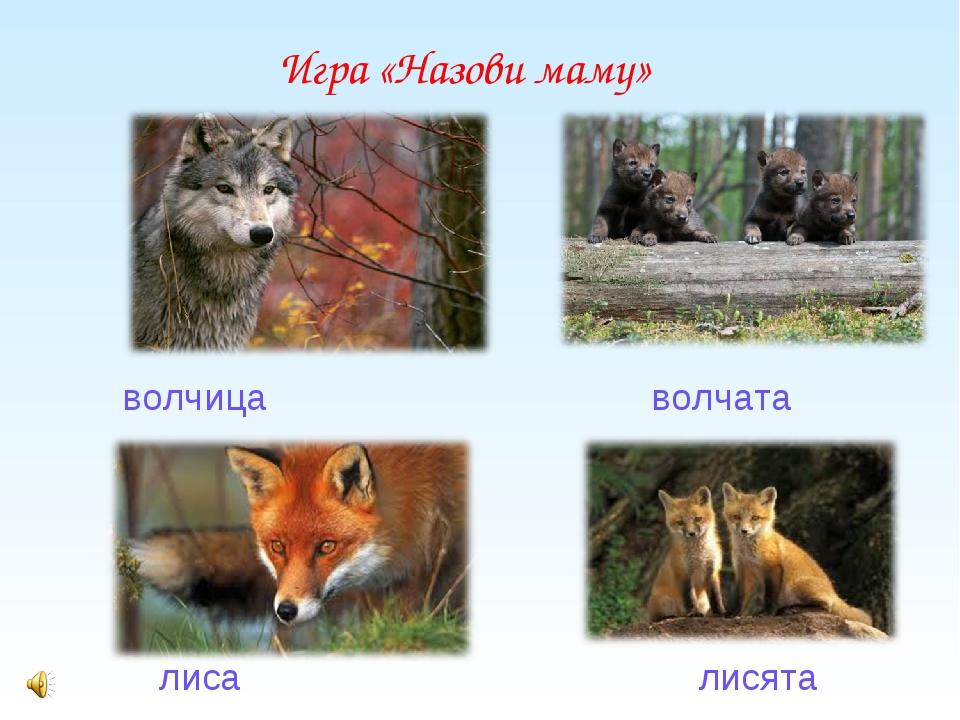 волчица                                     волчата        волчица...