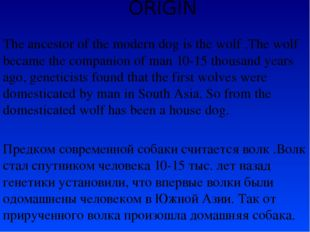 ORIGIN The ancestor of the modern dog is the wolf .The wolf became the compan
