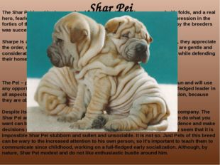 Shar Pei The Shar Pei is not just unusual and funny dog skin which are covere