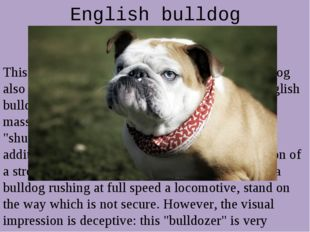 English bulldog This is a very curious breed of dog. English bulldog also cal