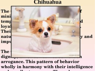 Chihuahua The Chihuahua is a popular breed of miniature dogs. These Pets are