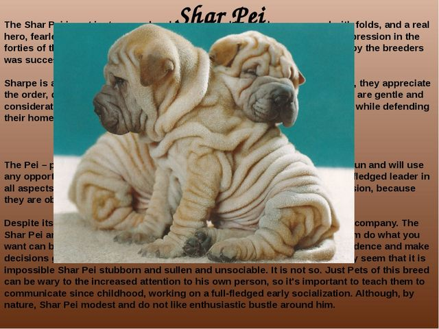 Shar Pei The Shar Pei is not just unusual and funny dog skin which are covere...
