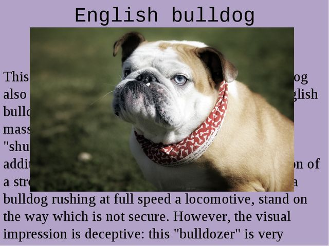 English bulldog This is a very curious breed of dog. English bulldog also cal...