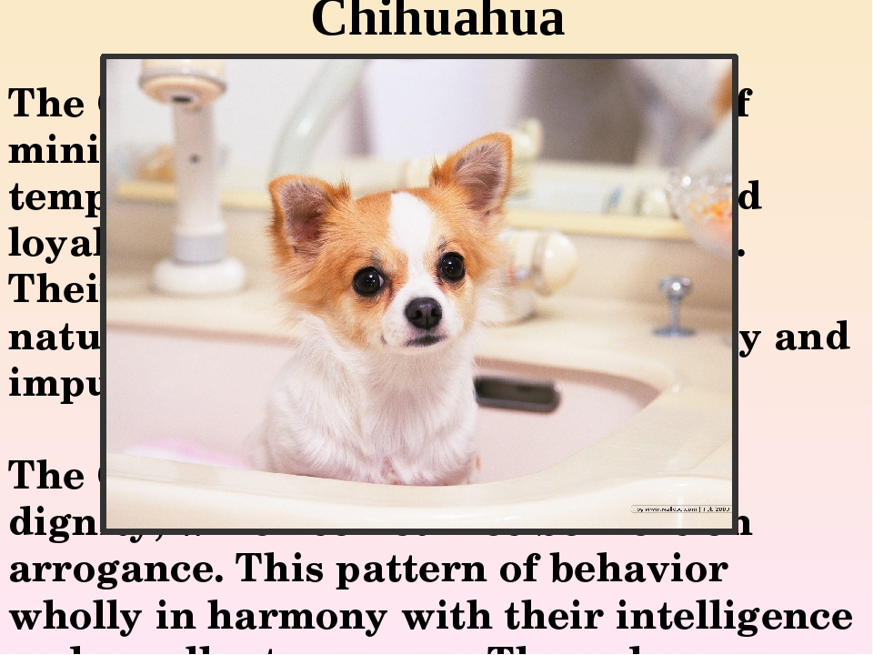 Chihuahua The Chihuahua is a popular breed of miniature dogs. These Pets are...