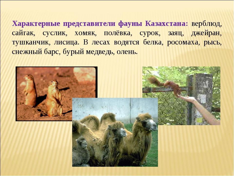 Характерные представители фауны Казахстана: верблюд, сайгак, суслик, хомяк,...
