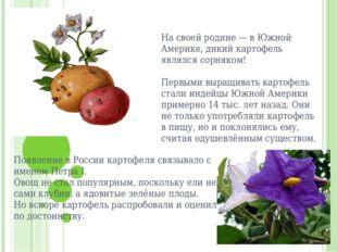 На своей родине — в Южной Америке, дикий картофель являлся сорняком!  Перв