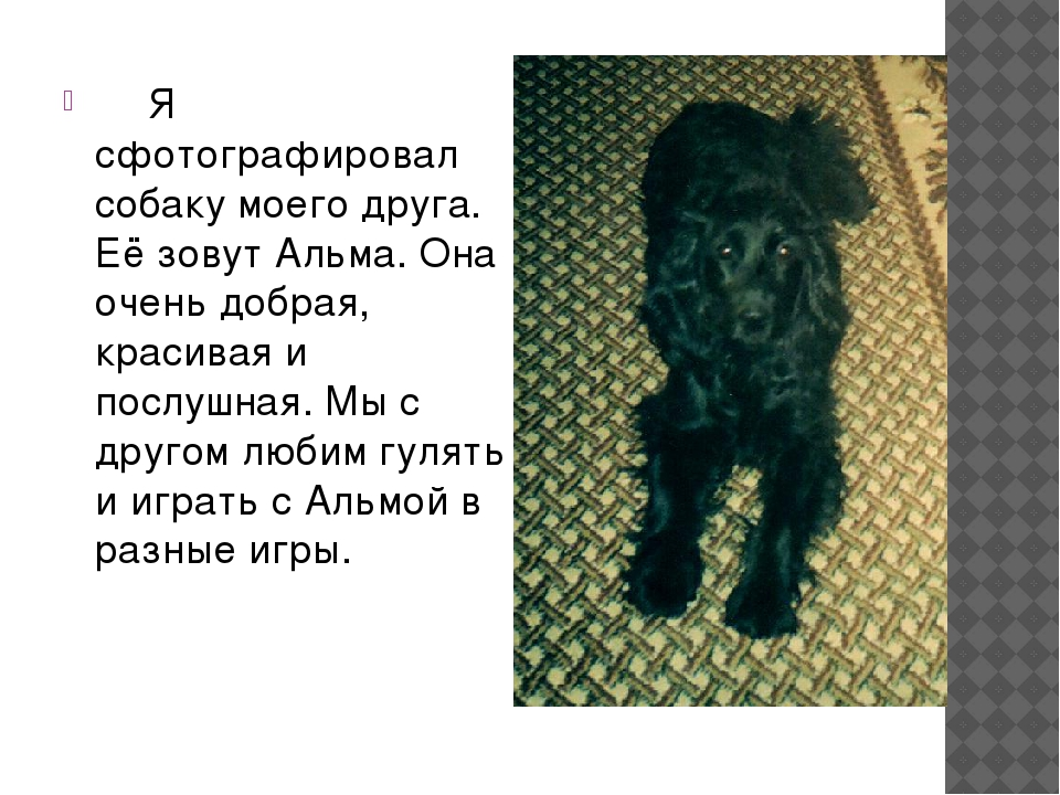 Я сфотографировал собаку моего друга. Её зовут Альма. Она очень добрая, крас...