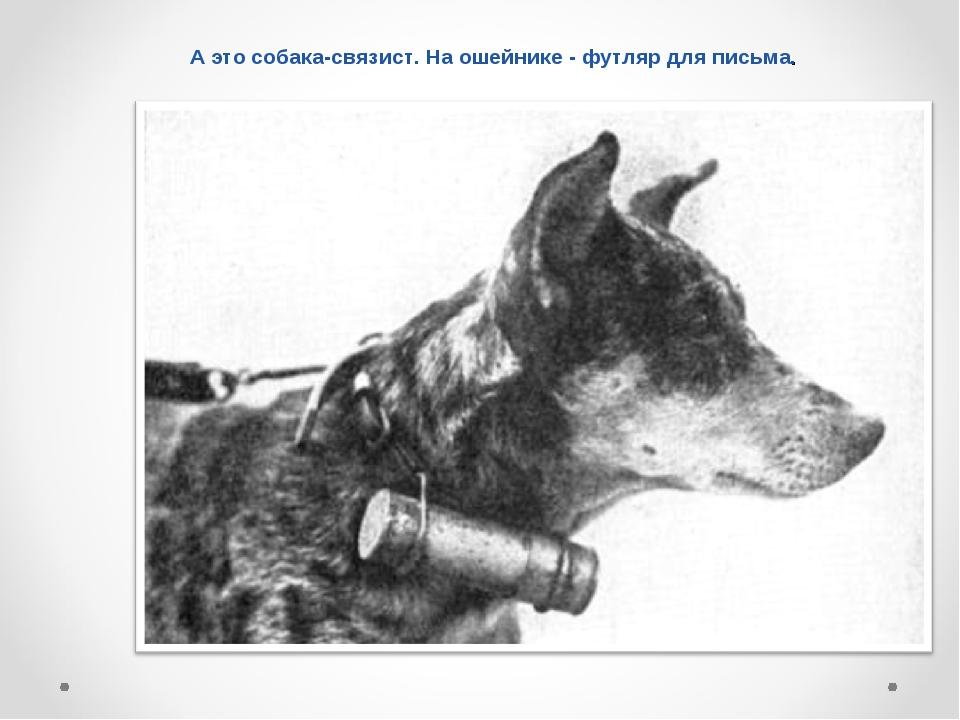 А это собака-связист. На ошейнике - футляр для письма.