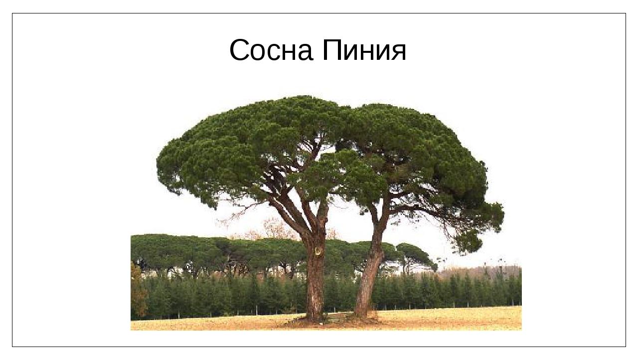Сосна Пиния