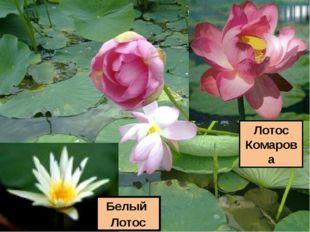 Лотос Комарова Белый Лотос