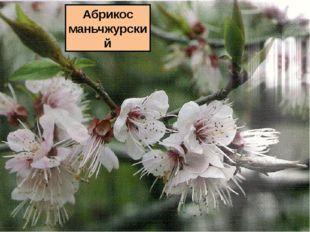 Абрикос маньчжурский