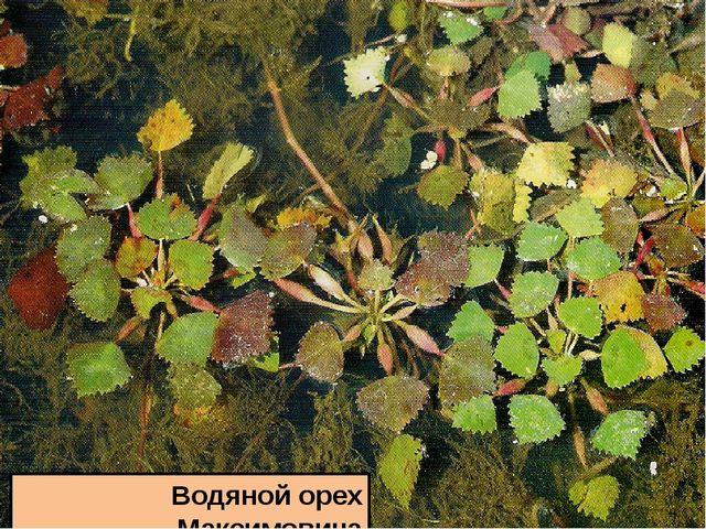 Водяной орех Максимовича