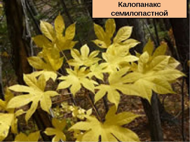 Гусиный лук малцветковый Калопанакс семилопастной