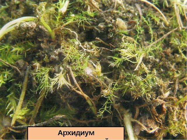 Архидиум очереднолистный
