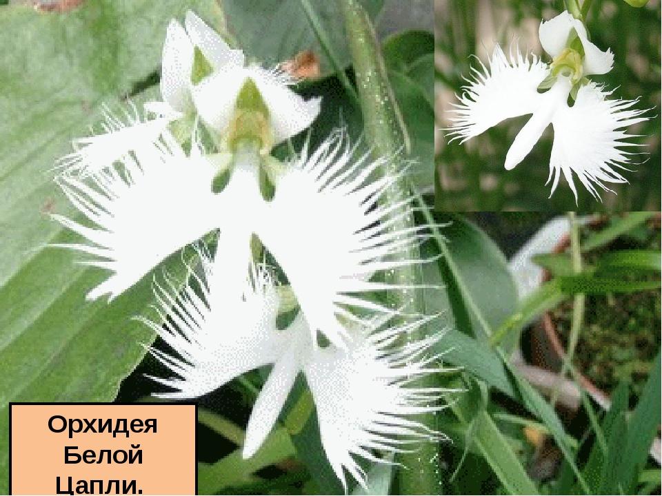 Орхидея Белой Цапли.