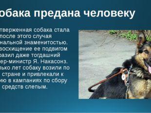 Собака предана человеку Самоотверженная собака стала после этого случая нацио