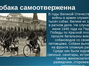 Собака самоотверженна В годы Великой Отечественной войны в армии служило 60 т