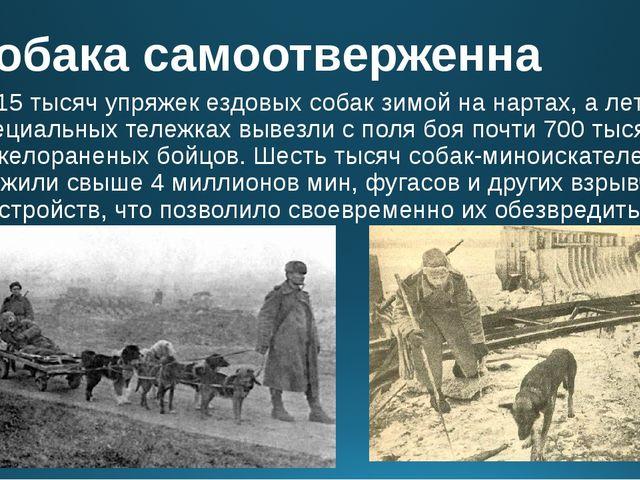 Собака самоотверженна Около 15 тысяч упряжек ездовых собак зимой на нартах, а...