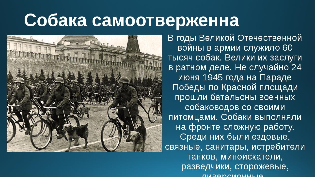 Собака самоотверженна В годы Великой Отечественной войны в армии служило 60 т...