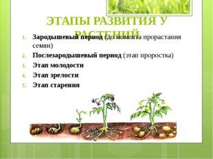ЭТАПЫ РАЗВИТИЯ У РАСТЕНИЙ Зародышевый период (до момента прорастания семян) П