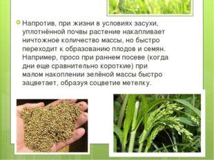Напротив, при жизни в условиях засухи, уплотнённой почвы растение накапливает