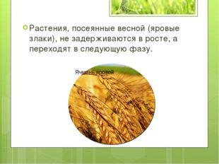 Растения, посеянные весной (яровые злаки), не задерживаются в росте, а перехо