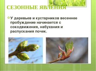 У деревьев и кустарников весеннее пробуждение начинается с сокодвижения, набу