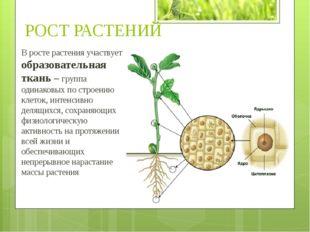 В росте растения участвует образовательная ткань – группа одинаковых по строе