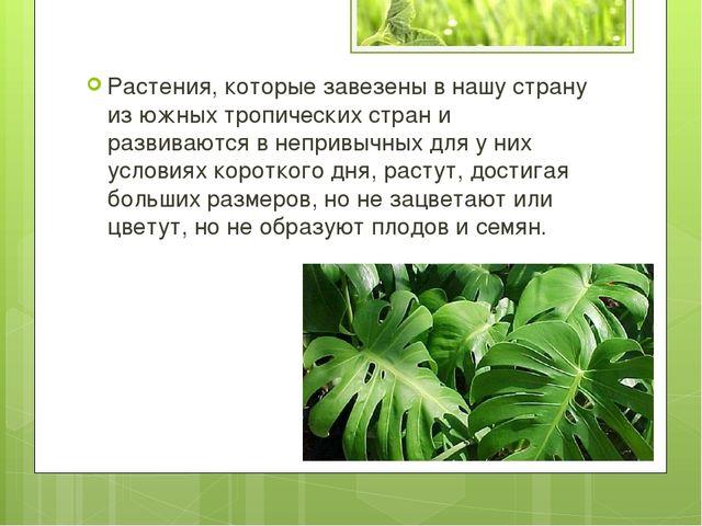 Растения, которые завезены в нашу страну из южных тропических стран и развива...