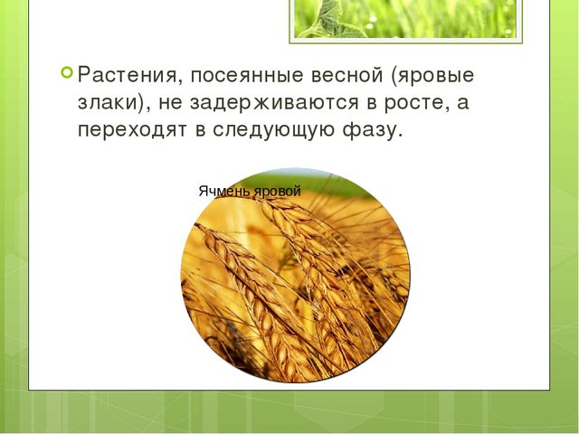 Растения, посеянные весной (яровые злаки), не задерживаются в росте, а перехо...