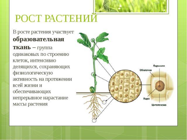 В росте растения участвует образовательная ткань – группа одинаковых по строе...